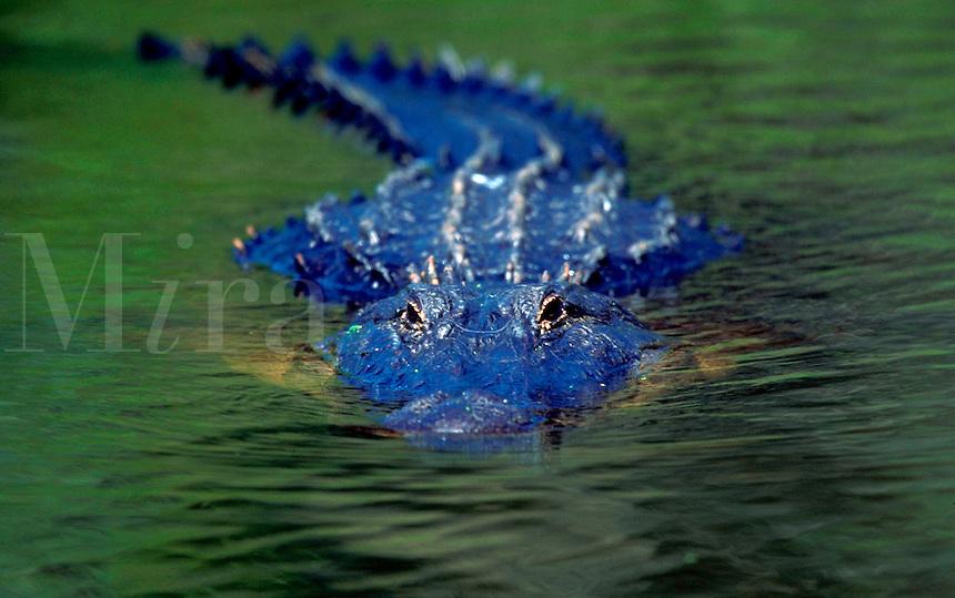 An American Alligator.