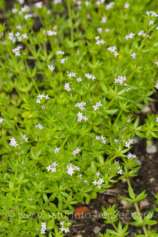 Ackerröte, Acker-Röte, Sherardia arvensis, Asperula sherardia, Sherardia, Field Madder, blue field-madder