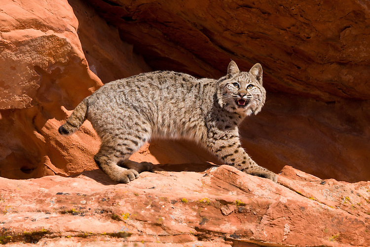 Bobcat standing in a hollow on a red rock - CA