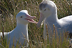 Wandering Albatross (Vulnerable)