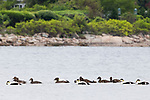 Common Eider (Somateria mollissima) flock along coast, Gloucester, Cape Ann, eastern Massachusetts