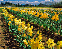 Rows of daffodils near Hubbard, Oregon