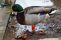 In the center of Paris, in a cold winter day, a male wild duck (Anas Platyrhyncos), with its standing out colored plumage: it is unused to snow. Digitally Improved Photo.