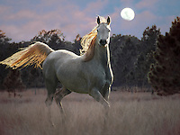 Arabian filly in moonlight - composite image.