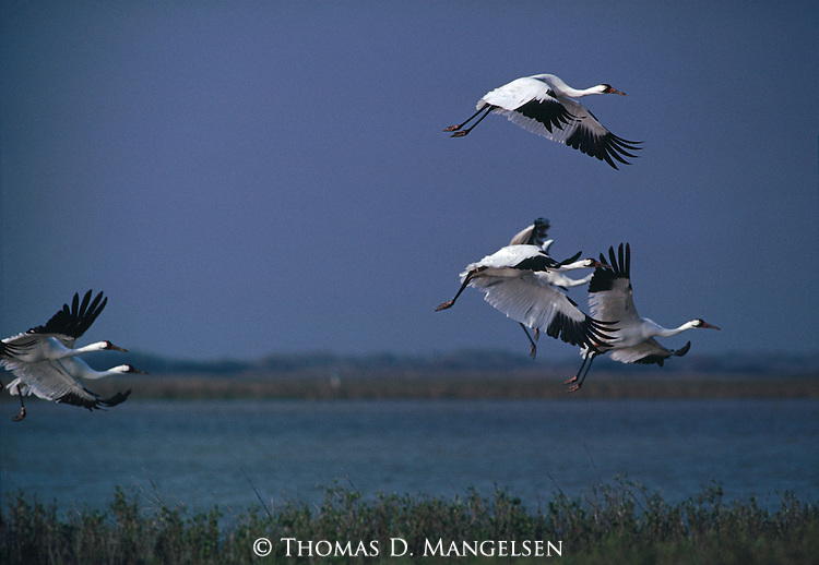 Group of whooping cranes taking off.