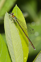Sedge Sprite (Nehalennia irene) Damselfly - Female, Promised Land State Park, Greentown, Pike County, Pennsylvania