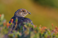 Adult male Sooty Grouse foraging among alpine plants. Mount Rainier National Park, Washington. August.