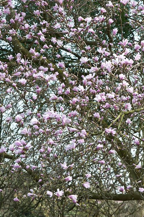 Magnolia x loebneri 'Leonard Messel', late March.