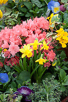 pink Azalea rhododendron in flower, dwarf daffodil Narcissus, ivy, viola spring plant combination in pot container, with herbs mint and thyme