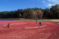 cranberry, Massachusetts, South Carver, Men rake up an enormous amount of cranberries in a circle in a bog for the wet harvest.