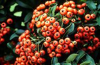 Feuerdorn, Mittelmeer-Feuerdorn, Früchte, Pyracantha coccinea, Burning Bush, Firethorn
