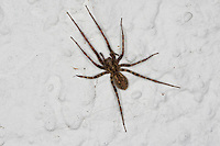 """Rostrote Winkelspinne, """"Hausspinne"""", Hauswinkelspinne, Haus-Winkelspinne, Malthonica ferruginea, Tegenaria ferruginea, house spider, Agelenidae, Trichternetzspinnen"""