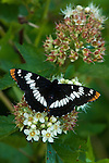 California sister butterfly sipping nectar