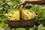 Yellow wax beans in basket with garden setting and hand.