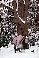 Man taking sap from maple tree to make maple syrup. Massachusetts.