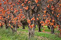 Persimmon 'Tsuru' orange ripe astringent fruit on tree in orchard at University of California Davis, Diospyrus kaki