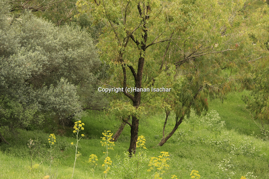 Israel, forest by Mount Gilboa Scenic Road