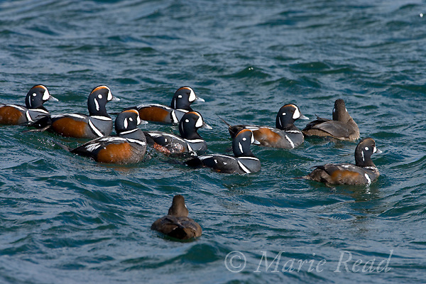 Harlequin Ducks (Histrionicus histrionicus), breeding plumage, bachelor group of males following female, Barnegat Inlet, New Jersey, USA