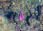 A splendid perch (Callanthias australis) is a deep reef dweller and is bright iridescent pink!