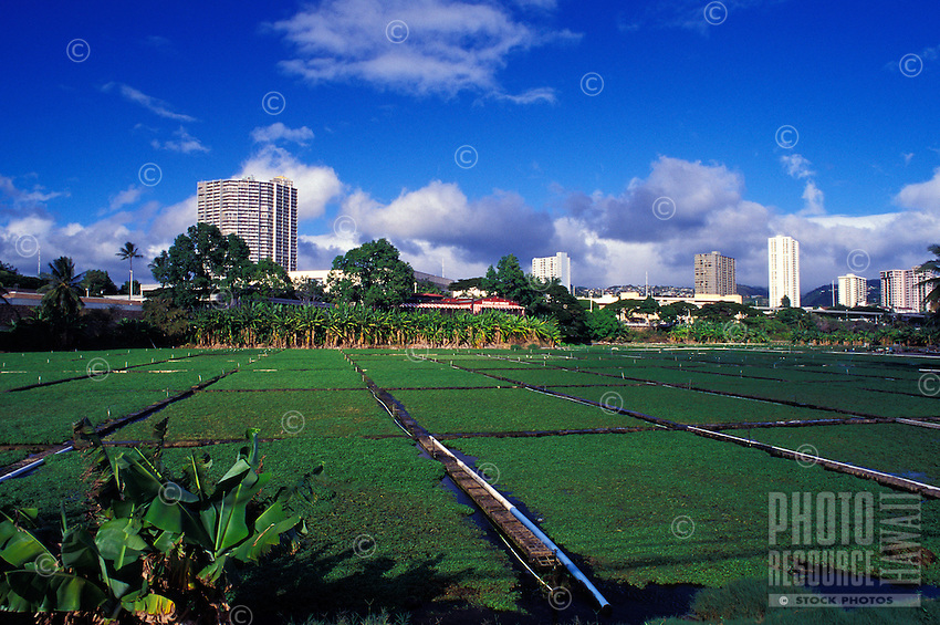 View of a watercress farm in Aiea