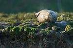 Harbor Seal (Phoca vitulina) sleeping, Elkhorn Slough, Monterey Bay, California
