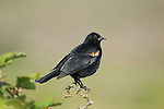 Male Red-winged blackbird, Agelaius phoeniceus, Point Reyes National Seashore, California