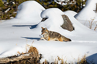 "Coyote (Canis latrans) breaks trail through deep snow along the bank of the Madison River. We watched this female prowling the bank and investigating the water (she may have been one of the Madison's ""fishing Coyotes"" but we didn't actually see her fish) for over an hour."