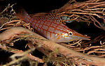 Longnose hawkfish (Oxycirrhites typus) perched on fan coral, South Ari Atoll, Maldives