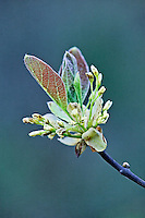 Spring growth on a flowering tree.
