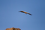 Himalayan Griffon (Gyps himalayensis) vulture flying, Pikertyk, Tien Shan Mountains, eastern Kyrgyzstan