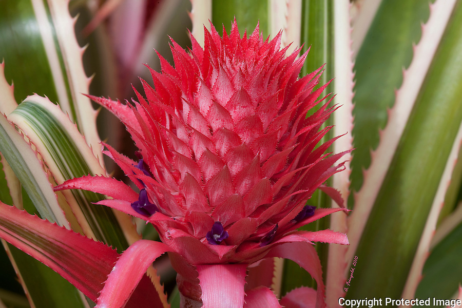 Blooming Pineapple, Purple Flowers, Red Flowers, Miami Nature, Tropical Fruit<br />