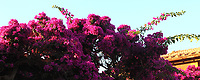 The top of a flowered Bougainvillea plant, in a sunny summer day. The photo has been taken in the Giannutri island. This is an enlargement of a part of the original image.