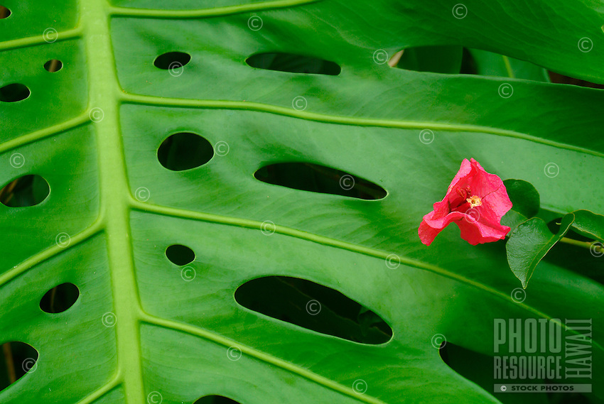 A close-up of a monstera leaf with red, flower-like bougainvillea, Hawai'i.