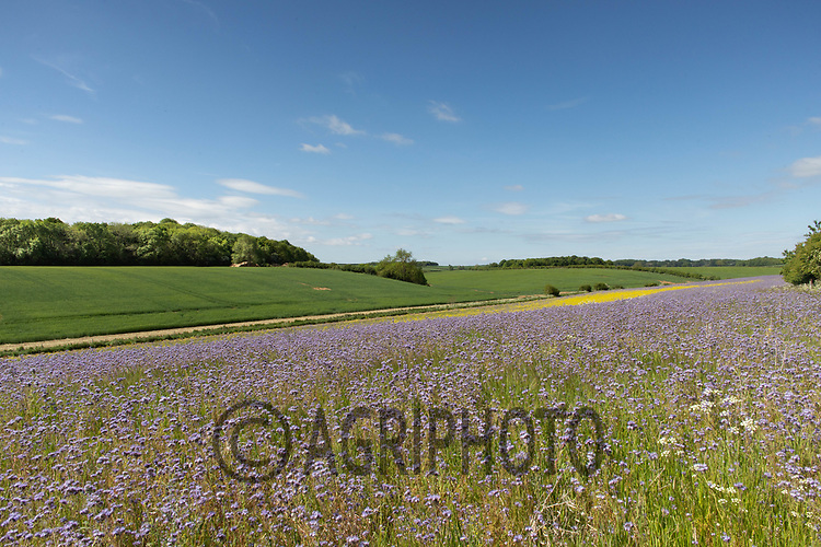 19.5.2020 Pollen & Nectar mix margin <br /> ©Tim Scrivener Photographer 07850 303986<br />      ....Covering Agriculture In The UK....