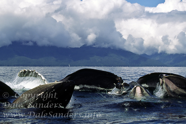 Humpback Whales (Megaptera novaeangliae) cooperative feeding by blowing bubble nets around a school of herring in Frederick Sound, Alaska, USA.