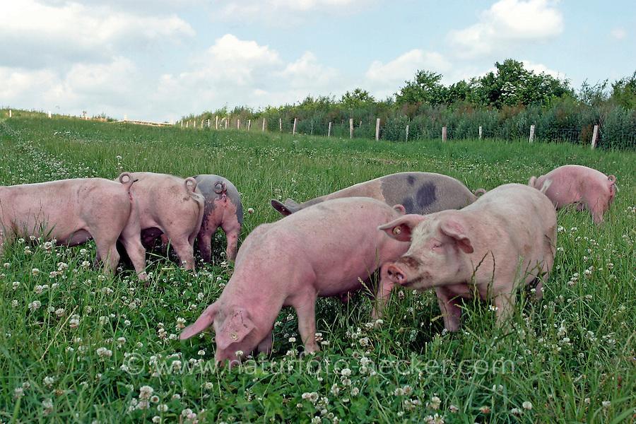 Hausschwein, Haus-Schwein, Schwein, Schweine, Artgerechte Tierhaltung auf Bio-Bauernhof, Bauernhof, Glückliche Schweine, auf frischer Wiese, hog, pig, pigs, swine
