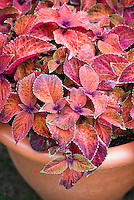 (Solenostemon) Coleus 'Wizard Sunset', annual garden foliage plant, in container pot planter, pinkiesh red with green picotee edge