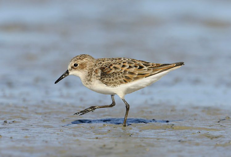 Little Stint Calidris minuta L 13-14cm. Tiny wader, like a miniature, short-billed Dunlin. Constant, frantic feeding activity helps with identification. Legs and bill are dark in all birds. Sexes are similar. Adult in summer has white underparts, reddish brown on back and variable suffusion of rufous on head and neck. Note yellow 'V' on mantle, and pale supercilium that forks above eye. In winter, has grey upperparts and white underparts, with white on face between bill and eye. Juvenile has white underparts. Reddish brown and black feathers on back and wings have pale fringes that align to form white 'V' markings. Note buffish flush on side of breast, pale supercilium that forks above eye, pale forecrown and dark centre to crown. Voice Utters a shrill stip call. Status Regular passage migrant, most numerous in autumn when juveniles predominate.