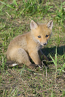 Red Fox Kit sitting on a hill outside its den
