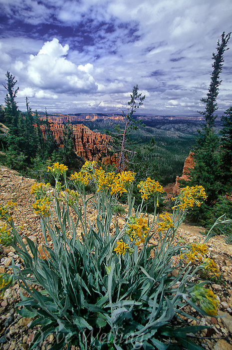 730750067 high altitude wildflowers frame red rock hoodoos and distant vistas from agua point along the main drive in bryce canyon national park in central utah