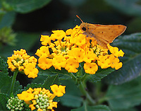 Male fiery skipper on lantana