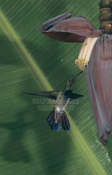 Antillean Mango (Anthracothorax dominicus), male feeding on Banana blossom, Luquillo, Puerto Rico, USA
