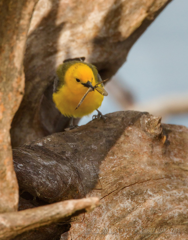 Prothonotary Warbler with Dragonfly