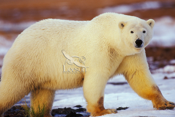 Polar bear, Arctic National Wildlife Refuge, Alaska, Fall.