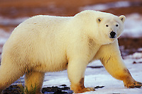 Polar bear, Arctic National Wildlife Refuge, Alaska, Fall.