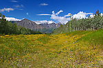 IMAGES OF THE YUKON,CANADA , NORTHERN GOLDENROD