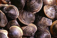 Clams, Cape Cod, Massachusettes
