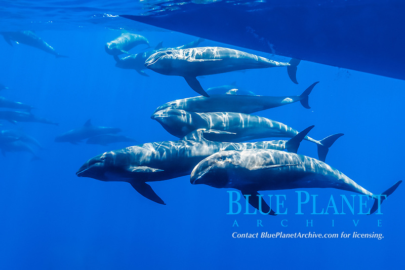melon-headed whale, Peponocephala electra, pod, bow-riding, French Polynesia, Pacific Ocean