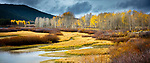 Aspens and willow thickets, Grand Teton National Park, Wyoming, USA