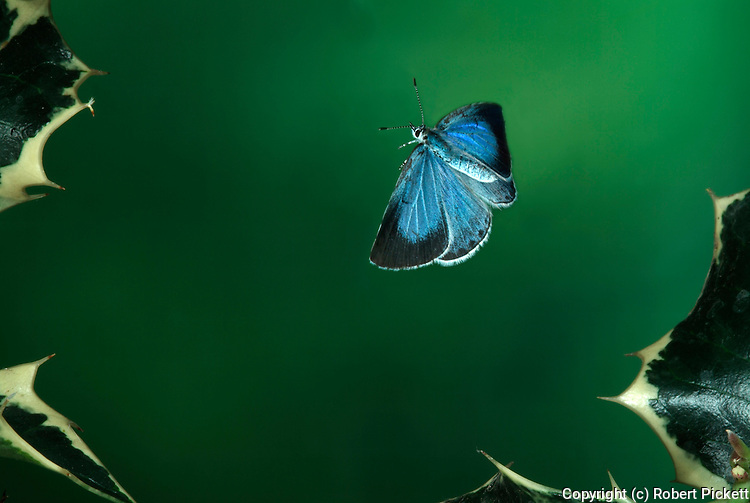 Holly Blue Butterfly, in flight, flying, Celastrina Agriolus, high speed photographic technique.United Kingdom....
